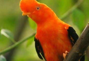 Rupicola-peruvianus